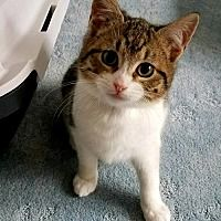 Oakhurst, New Jersey - Domestic Shorthair. Meet Delilah, a for adoption. https://www.adoptapet.com/pet/20995850-oakhurst-new-jersey-cat