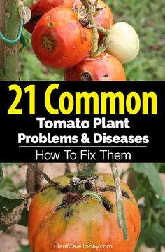 21 Common Tomato Plant Problems and Diseases How To Fix Them is part of Tomatoes plants problems - Solutions to common tomato plant problems and diseases Yellow leaves, wilt, ruined fruit, fungus, pests keep destroying your tomato crop [LEARN MORE] Growing Tomato Plants, Growing Tomatoes In Containers, Growing Vegetables, Grow Tomatoes, Fertilizer For Tomatoes, Root Veggies, Veg Garden, Garden Pests, Vegetable Gardening