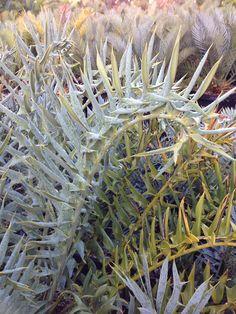 Cycad Encephalartos horridus