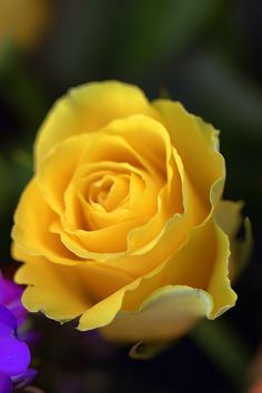 Calore giallo / Yellow heat - Yellow rose my Mother's favorite rose -