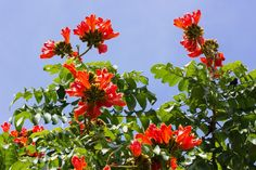 African Tulip Tree or Flame of The Forest or Fountain Tree or Firebell. For me - Spathodea campanulata :-)