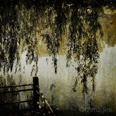 in my top trees: weeping willow