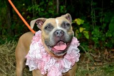 TO BE DESTROYED 8/29/14 ~ #URGENT #NYC #KillShelter PLS help by #adoption or #share !! ~ Staten Island Center -P My name is AVERY. My Animal ID # is A1009691. I am a female tan and white pit bull and boxer mix. The shelter thinks I am about 2 YEARS I came in the shelter as a STRAY on 08/07/2014 from NY 10310, owner surrender reason stated was STRAY.