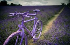 Bicycle in lavender fields