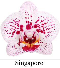 Phalaenopsis Singapore Exotic Flowers, Pretty Flowers, Orchid Flowers, God Of War, Iris, Latte, Singapore, Photos, Gift Wedding