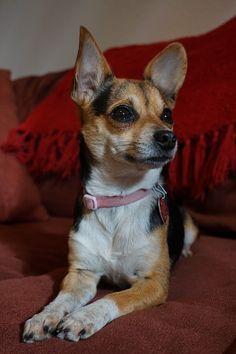 Popular Chihuahua Canine Adorable Dog - 5b234f4c9a760490038e07b0e46a76ac  You Should Have_192793  .jpg