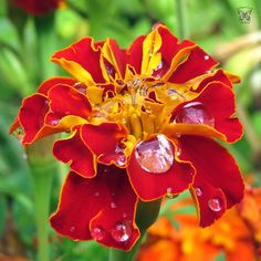Marigold with Morning Dew  #instaflowers #marigold #morningdew #dewdrops…
