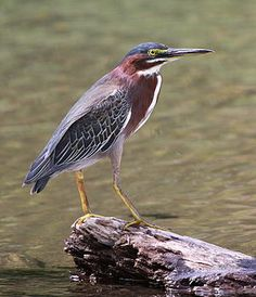 The green heron (Butorides virescens) is a heron species of North and Central America; this specimen was photographed at Corcovado National Park, Costa Rica. Adults have a body length of about 44 cm (17 in) and have been known to use tools to attract fish which they then eat. Photograph: Basar