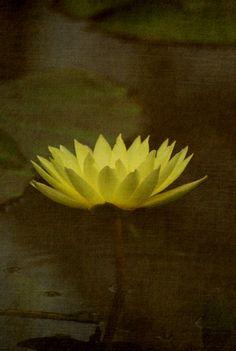 Kew waterlily