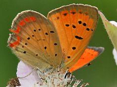 Männchen Lycaena ottomanus Grecian Copper Schmetterlinge und Raupen Südeuropas Griechenland Italien Südfrankreich Spanien Portugal Korsika Sardinien Kroatien Schmetterling