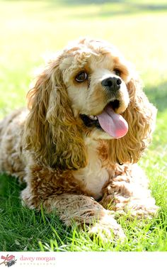 Cocker Spaniel | photo by Davey Morgan Cocker Spaniel Breeds, Black Cocker Spaniel, American Cocker Spaniel, Cockapoo, Mans Best Friend, I Love Dogs, Animal Pictures, Cute Puppies, Dog Cat