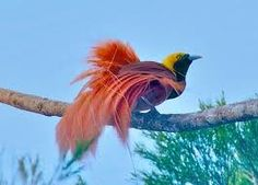 Image result for papua new guinea birds