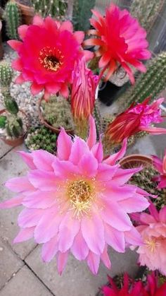 Big Flowers, Colorful Flowers, Beautiful Flowers, Carillons Diy, Late Bloomer, Cactus Seeds, Flower Video, Agaves, Desert Plants