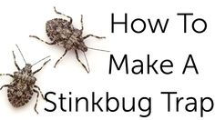 Stink bugs are commonly found throughout the U. in gardens and occasionally the home. When stink bug control becomes necessary, use the steps in this article to get rid of them.