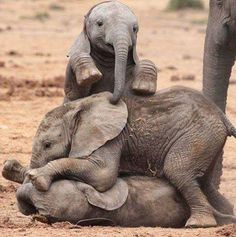 Elefante (Tomás,Roberta e Diego) - Three elephants babies playing together beside their mother's. Elephant Images, Elephant Love, Elephant Art, Elephant Gifts, Funny Elephant, Elephant Pictures, Elephant Tattoos, Elephants Photos, Save The Elephants