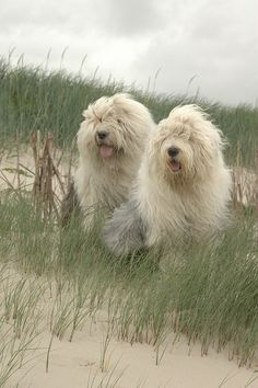 Boy and Sophie, Old English Sheepdogs; Photograph by © dewollewei