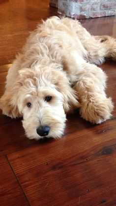 Golden Doodle  -  Please adopt, never shop and please don't breed or buy while shelter animals die.  Let's empty out our shelters and have no further use for rescue groups because all the animals will have responsible, healthy, loving and forever homes.  If we get involved and work together we can do it!