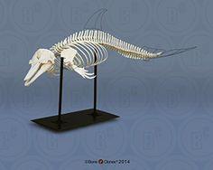 Articulated Atlantic Bottlenose Dolphin Skeleton SC-033-A