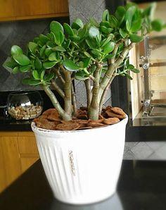 8 Plantas Fáceis de Cuidar • A planta Jade é um tipo de suculenta, por isso é tão resistente.  E suas folhas gorduchinhas e arredondadas são ótimas para criar contraste em ambientes clean cheios de linhas retas. Vem conhecer 8 Plantas Fáceis de Cuidar.