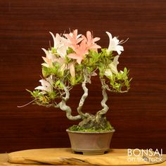 皐月の小品盆栽Satsuki azalea shohin-bonsai2015.5.30 撮影bonsai on the rock @BASEbonsai on the rock @Zazzle