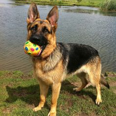 Reminds me of my Bear, Bear. He loved his ball. German Shepherd Rescue, German Shepherds, Malinois Dog, Schaefer, Dogs And Puppies, Doggies, Beautiful Dogs, My Animal, Mans Best Friend