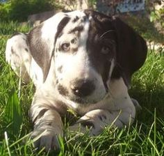 Family Danes - Home, great website to buy my future great dane