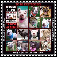 TO BE DESTROYED 09/14/17 - - Info    To rescue a Death Row Dog, Please read this:http://information.urgentpodr.org/adoption-info-and-list-of-rescues/   To view the full album, please click here: http://nycdogs.urgentpodr.org/tbd-dogs-page/ -  Click for info & Current Status: http://nycdogs.urgentpodr.org/to-be-destroyed-4915/