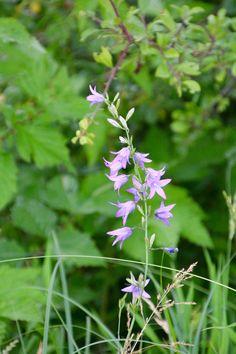 Solche wunderschöne Wiesenblumen gibt es leider in unseren lanwirtschaftlich genutzten Flächen nicht mehr :-(((