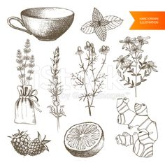 medicinal herb illustrations -