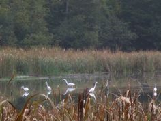 MyNews contributor Ann Michael sent in this photo of a Great Blue Heron among a group of egrets at Stony Swamp near Ottawa on Saturday, Sept. 29, 2012.