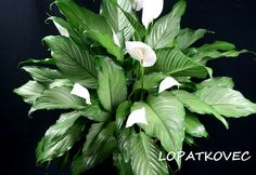 How to Grow and Care for Peace Lilies (Spathiphyllum): Peace Lilies like indirect light and shade, making them ideal for indoor environments. They're even known to do well in offices with. House Plants, Peace Lily, Planting Flowers, Plant Tags, Plants, Plant Leaves, Terrarium Plants, Growing Flowers, Spathiphyllum