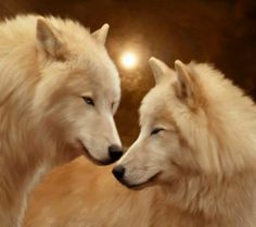 beautiful white #wolves pic...fantasy