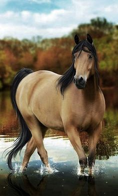 The most amazingly beautiful horse I've ever seen---AND it's my favorite---a buckskin!!!!  AWESOME!!