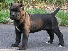 Cane Corso Puppies | Cane Corso Breeders | Cane Corso Mastiff...oh my, what a dog!!