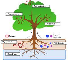 Phytoremediation - Wikipedia, the free encyclopedia