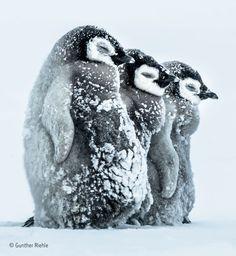 """Drei Kaiserpinguin-Babys halten sich am Südeis der Antarktis warm.Three emperor penguin babies keep warm on the southern ice of Antarctica. © Gunther Riehle, Germany: """"Facing the Storm"""" Animals And Pets, Baby Animals, Funny Animals, Cute Animals, Wild Animals, Wildlife Photography, Animal Photography, Photography Awards, Digital Photography"""