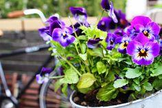 Violets ♥ Violets, Lifestyle, Plants, Flora, Plant, Planting