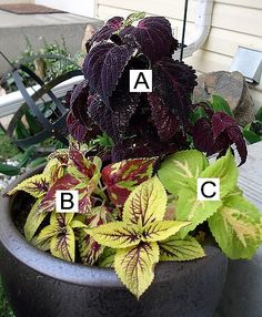Great for a shady patio! (Coleus) A=Black Dragon B=Wizard Pineapple C=Rainbow Mix