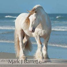 8696-36A.jpg :: Gypsy Vanner Horse stallion