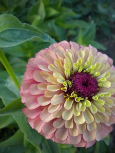 Tequila Lime Zinnia flowers all summe. My Flower, Flower Power, Beautiful Flowers, Beautiful Gorgeous, Flower Ideas, Flower Names, Pot Plante, Growing Seeds, My Secret Garden