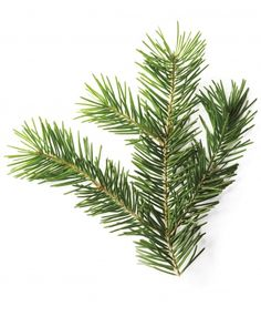 Douglas Fir (Pseudotsuga menziesii) Region(s): Northwest, Great Lakes, Northeast Sweet-smelling blue-green foliage is fuller and thicker than a Fraser. Caveat: Its needles won't last as long on the branch. Christmas Tree Glossary - Martha Stewart