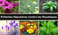 8 Plantes qui vous Protégeront des Moustiques une Bonne Fois pour Toutes