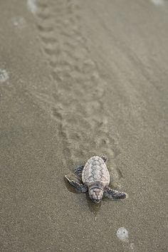 ayustar:    Baby Loggerhead Turtles Rescued by Richard Ellis Photography on Flickr.