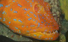 Marine Photobank: Photo Center  Harlequin fish of South Australia
