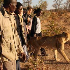 Luci ed ombre della 'passeggiata con i leoni'. Davvero contribuisce alla corretta conservazione della specie?