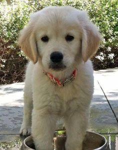 Goldenretriever pup