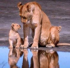 Super Baby Animals And Their Mothers Beautiful Creatures Ideas Big Cats, Cats And Kittens, Cute Cats, Cute Baby Animals, Animals And Pets, Funny Animals, Animals Photos, Beautiful Cats, Animals Beautiful