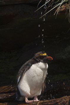 Macaroni Penguin (Eudyptes chrysolophus) bathing in freshwater, Keppel Island, Falkland Islands