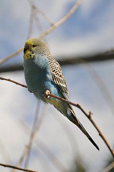 Parakeet by Pirmin Nohr  Blue parakeet sitting on a branch