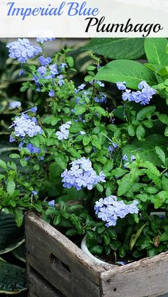 Plumbago - one of the stars of the summer garden. A perennial down South, an annual up North.
